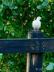 June 21, 2021 - A Eurasian collared dove hanging out. (LE Worley)