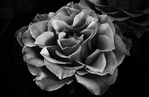 Fascination Of Roses