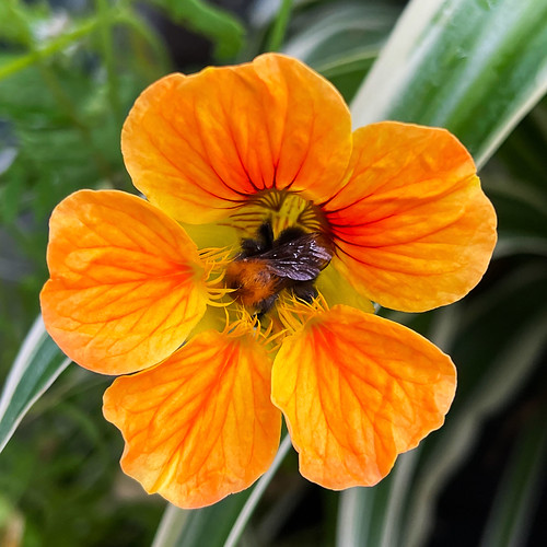 Bumblebee @ Monks Cress