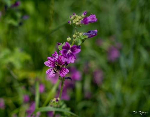 Hommel - Abejorro - Bumblebee
