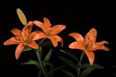 Lilium concolor 'Tosa 201102' Salisb., Parad. Lond. 1: t. 47 (1806)