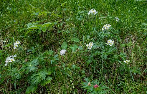 Anemone narcissflora L. with Valeriana montana L.