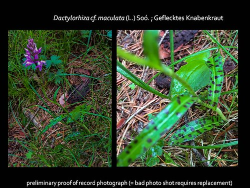 Dactylorhiza bad pic