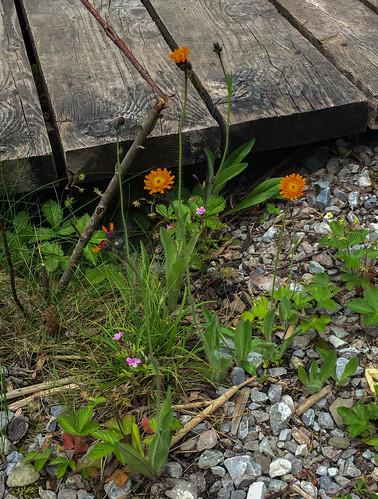 Hieracium aurantiacum Orangerotes Habichtskraut