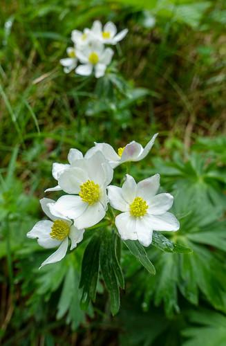 Anemone narcissflora L. Narzissen-Windrösschen