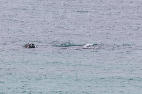 Christie The Whale & Calf At Second Valley-14