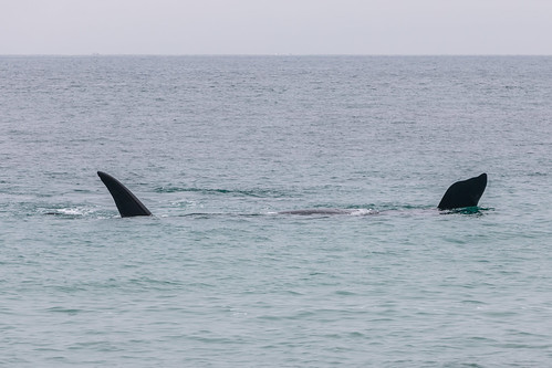 Christie The Whale & Calf At Second Valley-9