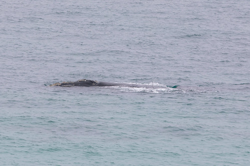 Christie The Whale & Calf At Second Valley-15