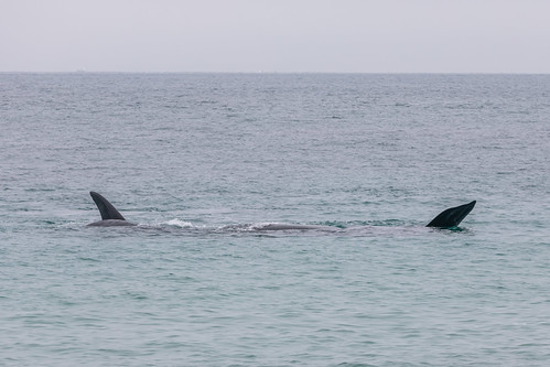 Christie The Whale & Calf At Second Valley-8