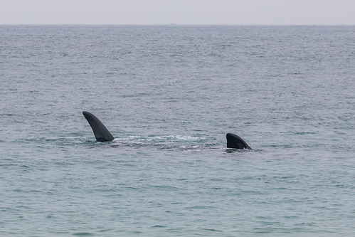 Christie The Whale & Calf At Second Valley-6