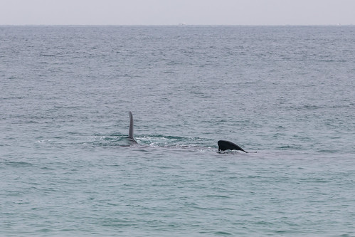 Christie The Whale & Calf At Second Valley-5