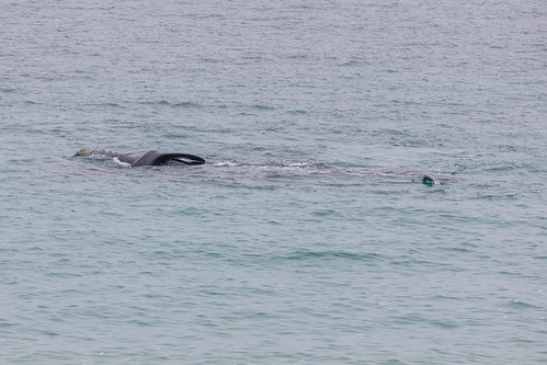 Christie The Whale & Calf At Second Valley-12