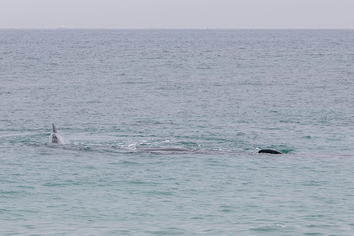 Christie The Whale & Calf At Second Valley-7