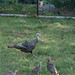 Wild Turkeys And A Fox