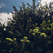 Frog's eye view of a fir tree with the sky and clouds in the background