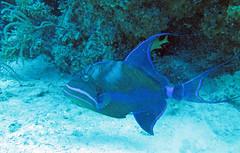 Balistes vetula (queen triggerfish) (Bahamas)