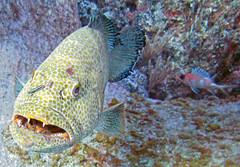 Mycteroperca tigris (tiger grouper) (Bahamas)