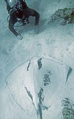 Dasyatis americana (southern stingray) (Bahamas) 2