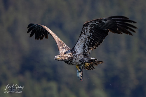 """Young Bald Eagle with prey • <a style=""""font-size:0.8em;"""" href=""""http://www.flickr.com/photos/106269596@N05/51311660907/"""" target=""""_blank"""">View on Flickr</a>"""