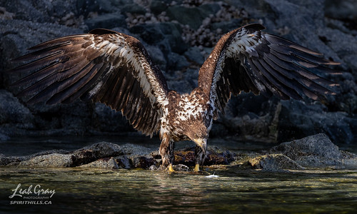 """Young Bald Eagle looking for fish • <a style=""""font-size:0.8em;"""" href=""""http://www.flickr.com/photos/106269596@N05/51311661052/"""" target=""""_blank"""">View on Flickr</a>"""