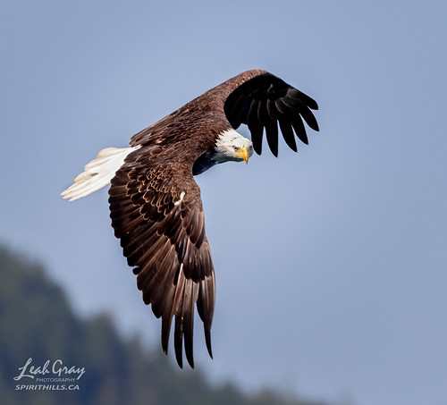 """Bald Eagle looking for a fish • <a style=""""font-size:0.8em;"""" href=""""http://www.flickr.com/photos/106269596@N05/51318295070/"""" target=""""_blank"""">View on Flickr</a>"""
