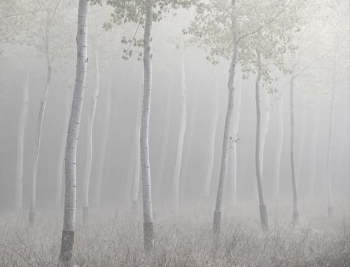 Poplars in the morning mist