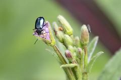 Bladkevers - Chrysomelidae (4 mm)