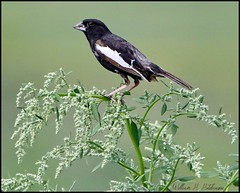 July 8, 2021 - Lark bunting hanging out. (Bill Hutchinson)