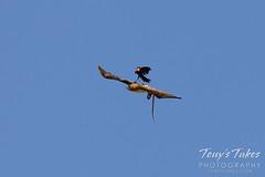 July 5, 2021 - A blackbird attacks a hawk. (Tony's Takes)