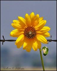 July 2, 2021 - Wild sunflower. (Bill Hutchinson)