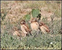 July 8, 2021 - Burrowing owl owlets. (Bill Hutchinson)