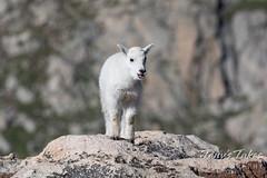 July 4, 2021 - Little mountain goat. (Tony's Takes)