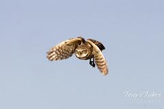 July 3, 2021 - Burrowing owl takes flight. (Tony's Takes)