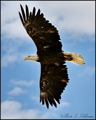July 8, 2021 - Bald eagle's picture perfect flyby. (Bill Hutchinson)