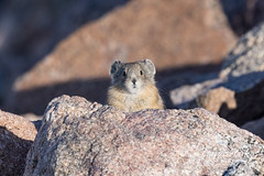 July 4, 2021 - Curious American Pika. (Tony's Takes)