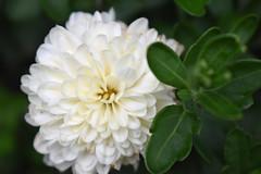 Mum Blossom And Greenery.