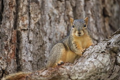 Fox Squirrels in Ann Arbor at the University of Michigan 195/2021 33/P365Year14 4781/P365all-time (July 14, 2021)