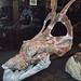 Achelousaurus horneri (ceratopsian dinosaur) (Two Medicine Formation, Upper Cretaceous; Landslide Butte, Montana, USA) 4