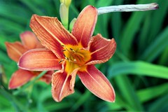 One species of lily