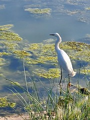 July 18, 2021 - Snowy egret at the rec center. (LE Worley)