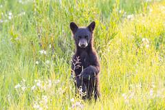 Black bear cubs stands tall