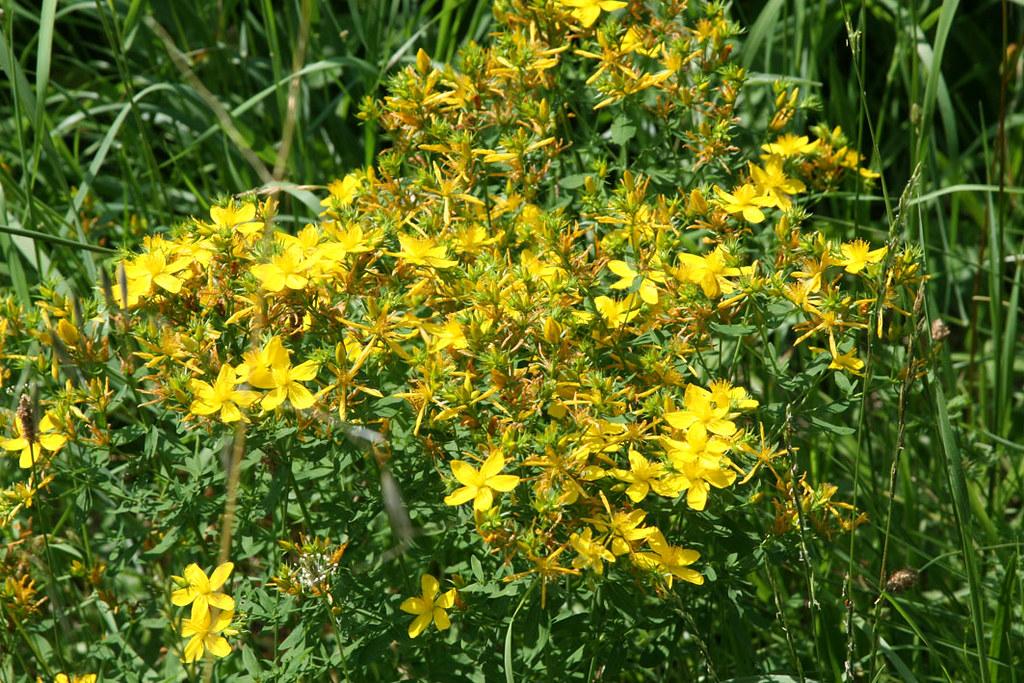 Voie_verte_fleurs_jaunes