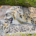 Mating snow leopard