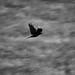 Krähe im Flug auf der Geishöhe