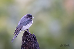 A White Bellied Drongo on a lovely perch