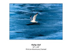 """Flying Gull • <a style=""""font-size:0.8em;"""" href=""""http://www.flickr.com/photos/124378531@N04/51337473190/"""" target=""""_blank"""">View on Flickr</a>"""