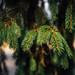 Evergreen tree needles, close-up