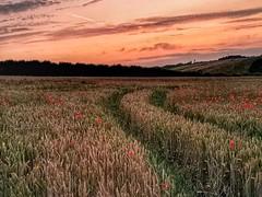 Poppy farm