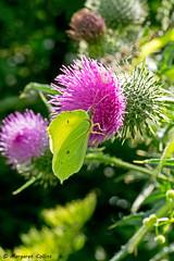 Photo of Brimstone Butterfly 2 - Gonepteryx rhamnii
