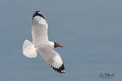 A Brown Headed Gull Surveying a Lake for fish